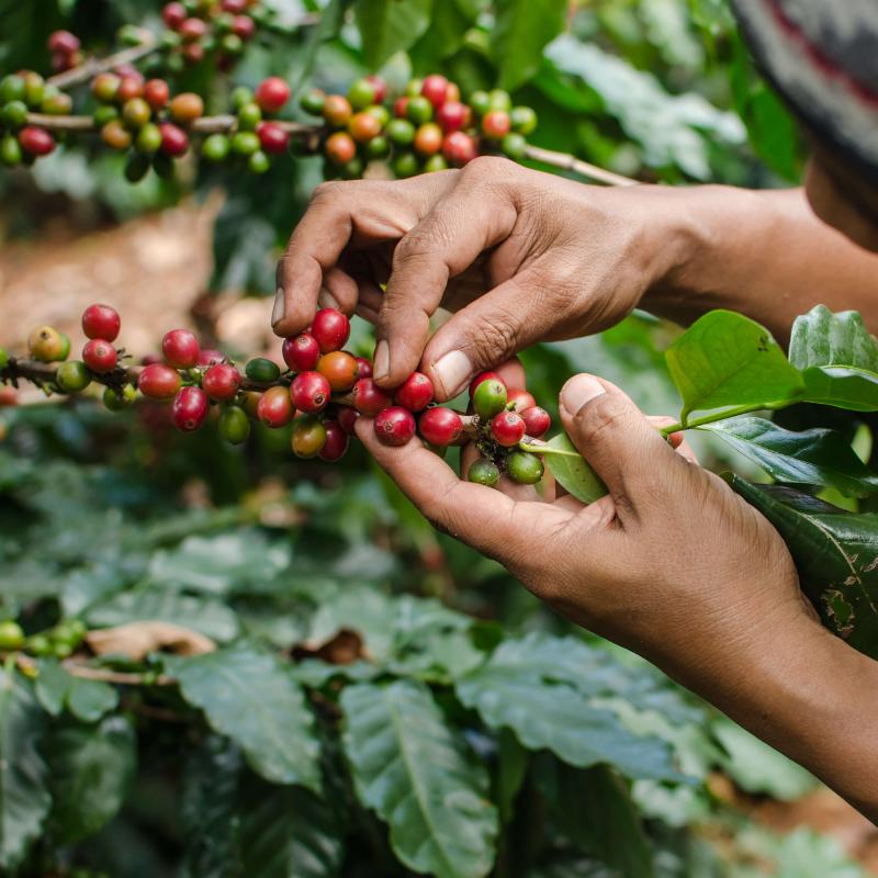 Sustainable Coffee Farming